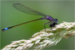 Agrion élégant, femelle immature (Ischnura elegans) 2