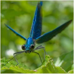 Agrion_2 (Calopteryx virgo)