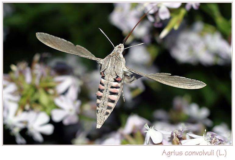 Agrius convolvuli (L.)  #2