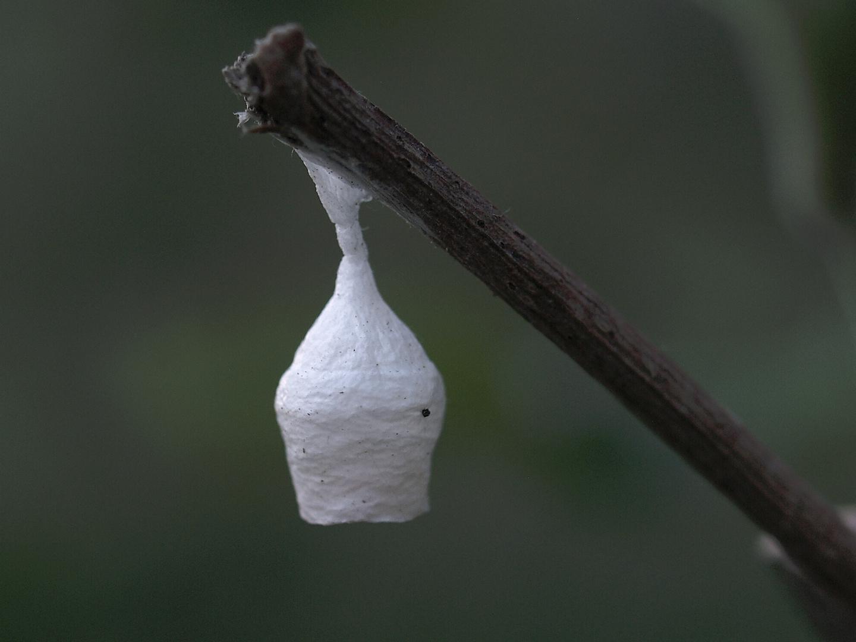 Agroeca brunnea - Kokon mit Eiern