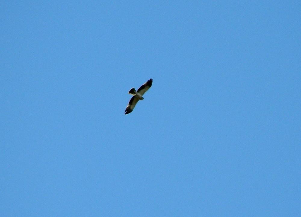 Aguila cazando en el Parque Natural Sierra de Aracena.
