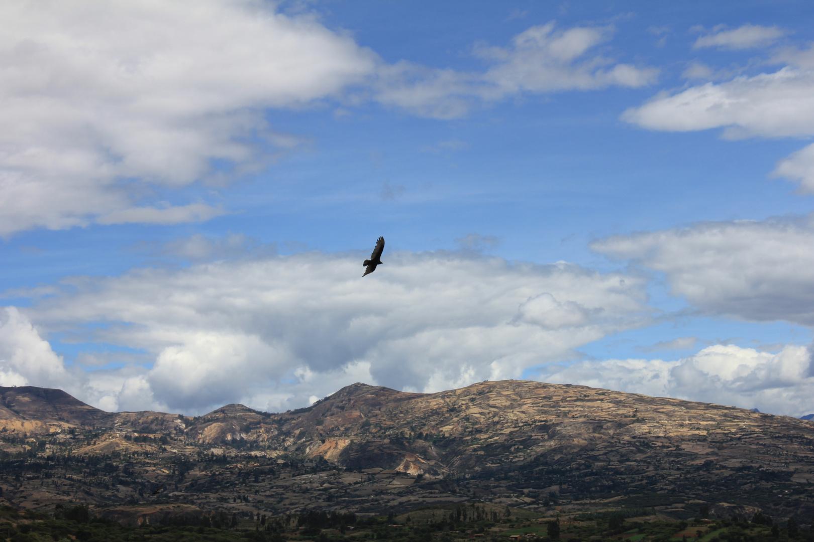 aguila volando en el cielo de Huayobamba San Marcos Cajamarca Perú