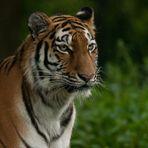 Ahimsa 1, Sibirische Tigerdame (Panthera tigris altaica)