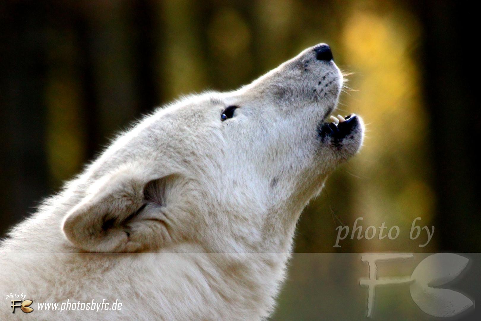 Ahooooooo - Wolfsheulen - Wildpark Alte Fasanerie Hanau Klein-Auheim
