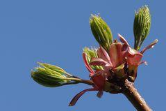 _\| Ahorn Ahornblüte