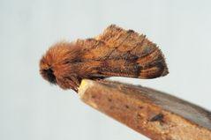 Ahorn-Herbstspinner