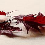 Ahorn im Herbst.