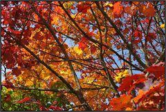 Ahorn im Herbstlicht