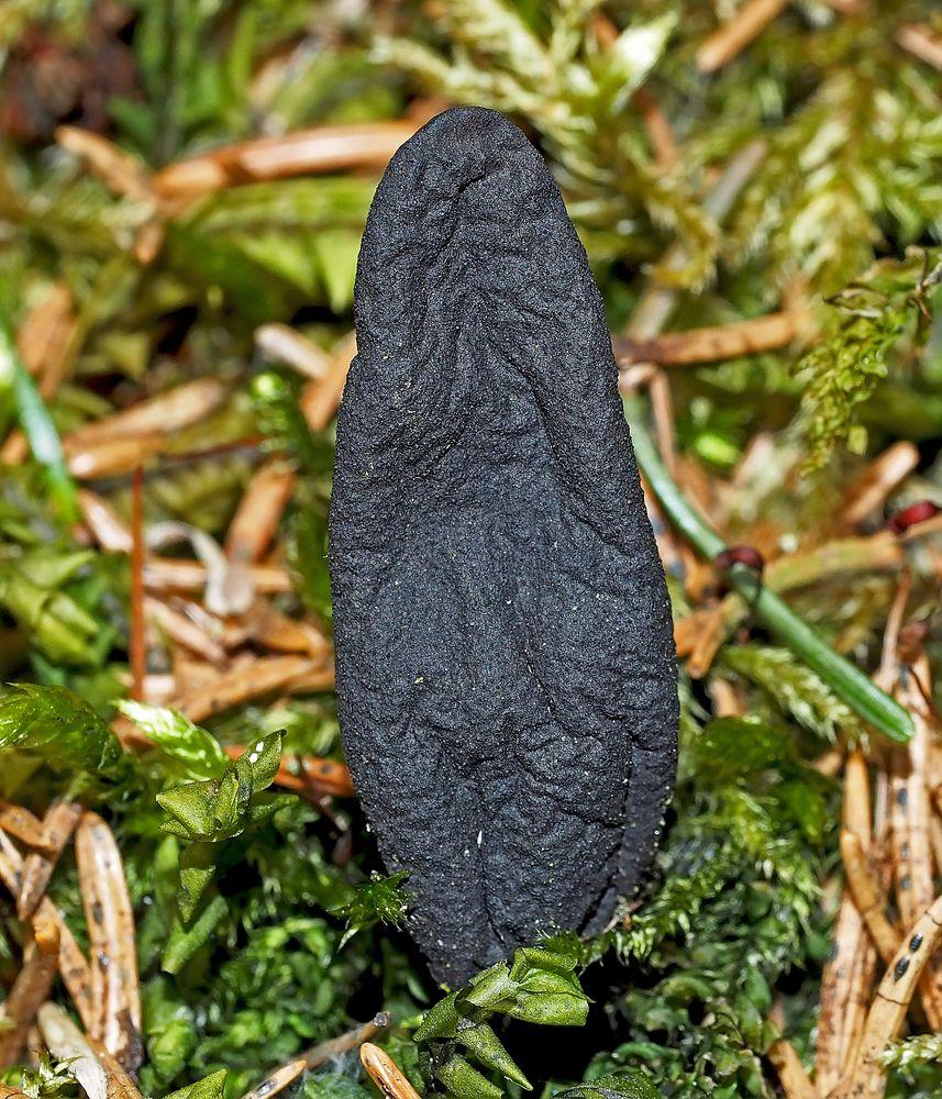 Ahorn-Keulenpilz (Xylaria longipes) im Detail, Bild 2.