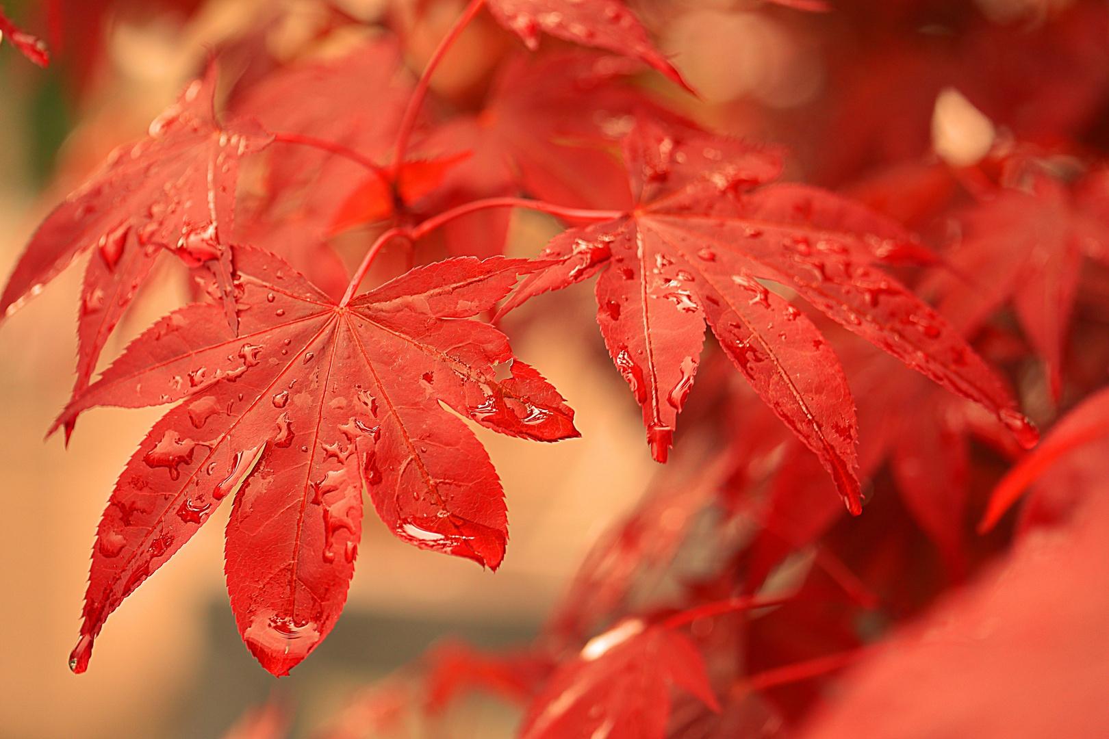 Ahornblätter im Regen