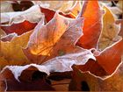 Ahornblätter im Spätherbst