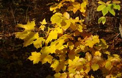 Ahorngold und Buchengold