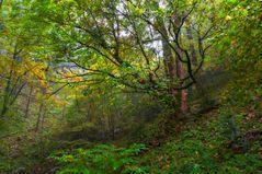 Ahornschluchtwald im Regen