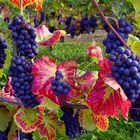 Ahr - Rotweintrauben