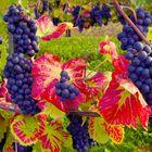 Ahr - Rotweintrauben (Update, am 26.11.2019!) Ein Motivvergleich......