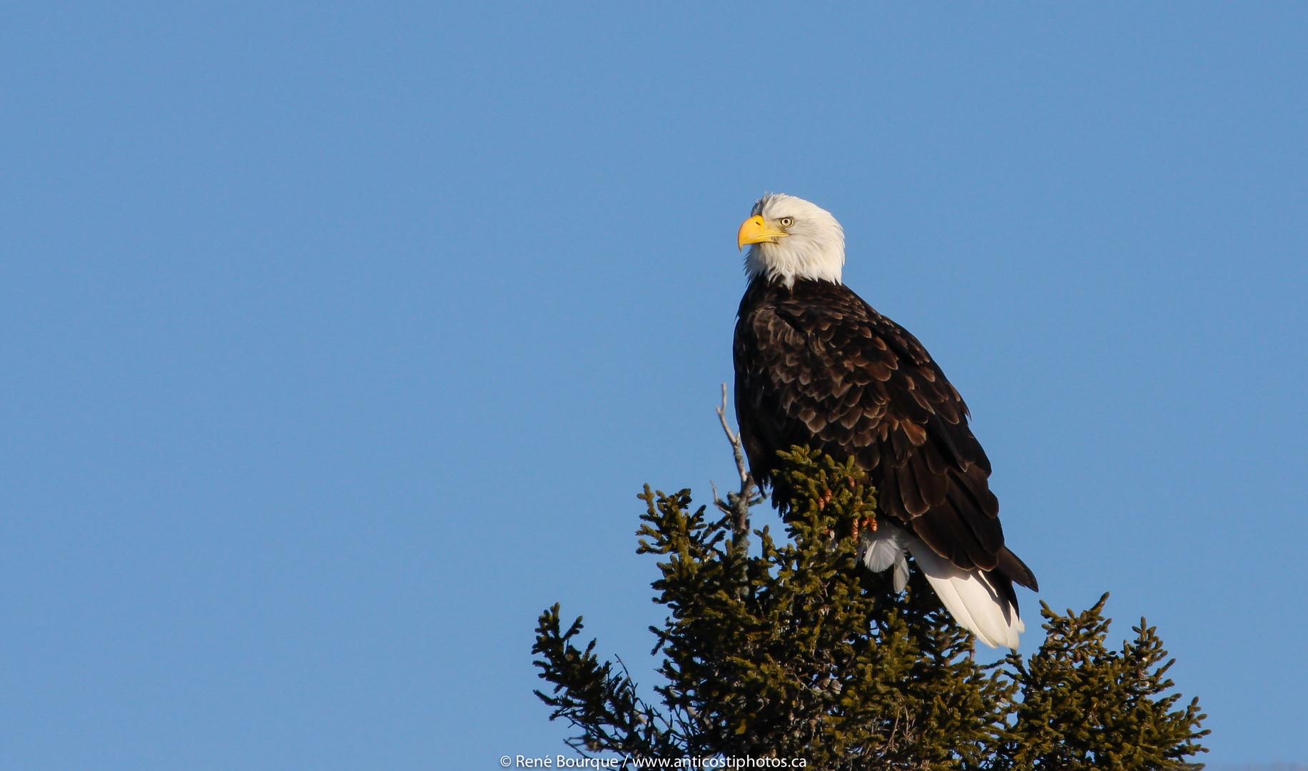 Aigle à tête blanche. Majestueux et fier de l'être.