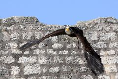 Aigle pycargue