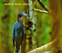 aigrette bleue adulte