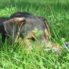 Airdale Terrier Welpe