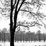 Akazie im Winter #2