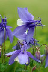 Akelei, (Aquilegia vulgaris)