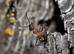 Akrobatik bei den Ameisen... (1) - Une fourmi acrobate!