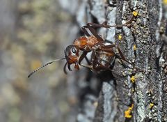Akrobatik bei den Ameisen... (2) - Une fourmi acrobate!