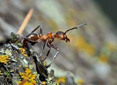Akrobatik bei den Ameisen... (3) - Une fourmi acrobate!