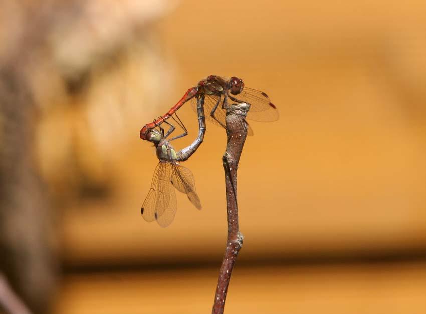 Akrobatik der Libellen
