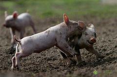 Aktionschweinchen