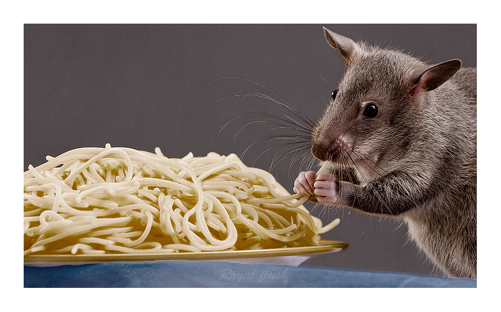 AL Dente .. Gambian pouched rat
