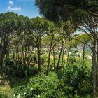 Al Kahaleh Pine Trees
