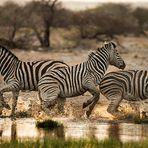 Al tramonto, le zebre