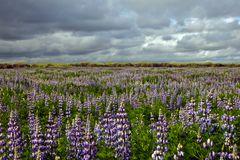Alaska-Lupine