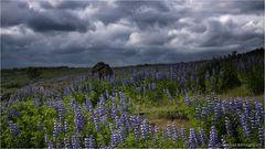 Alaska-Lupinen...