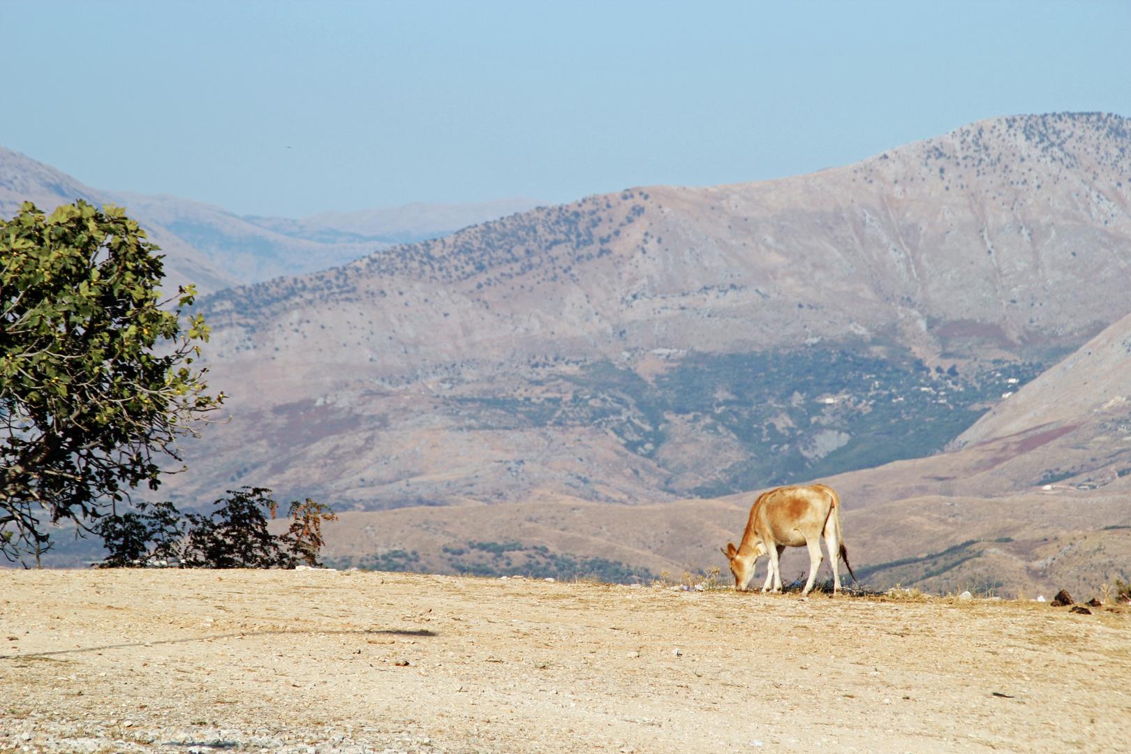 Albanien: Einsame Kuh auf dem Gelände der Festung Lekuresi