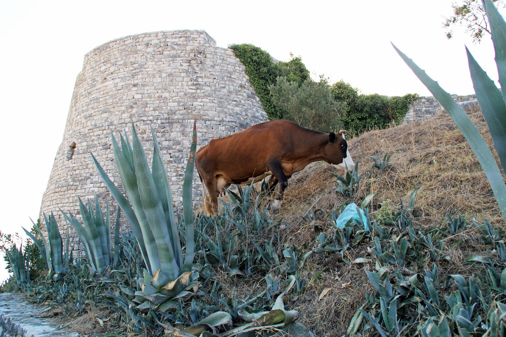 Albanien: Kuh vor der Festrung Lekuresi