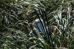 Albatros, Brüten im hohen Grass