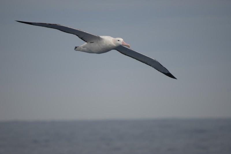 Albatros I