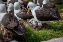 Albatros Nachwuchs