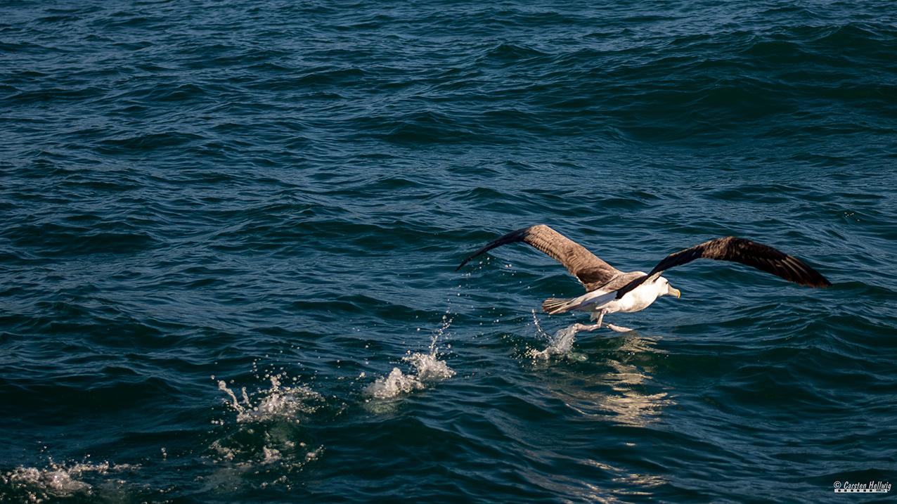 Albatros, startend