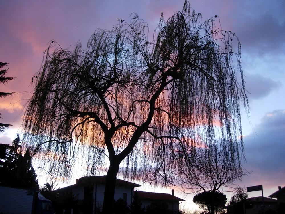 Albero piangente al tramonto