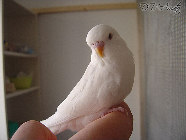 Albino Henne