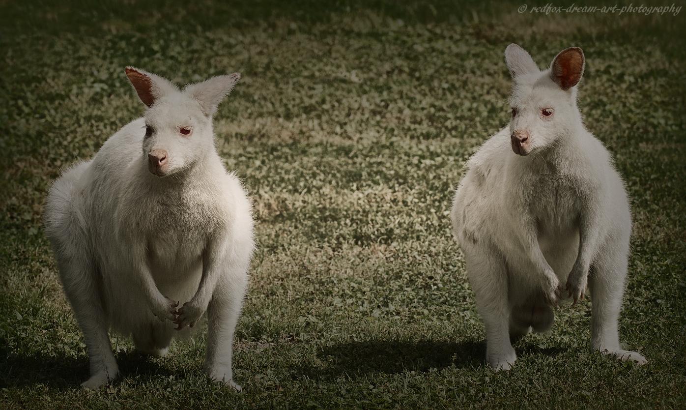 Albino- Kängurus