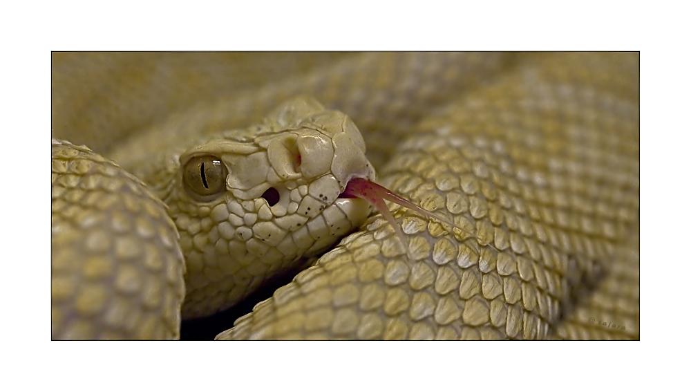 albino schlange