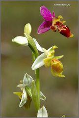 Albino von Ophrys heldreichii