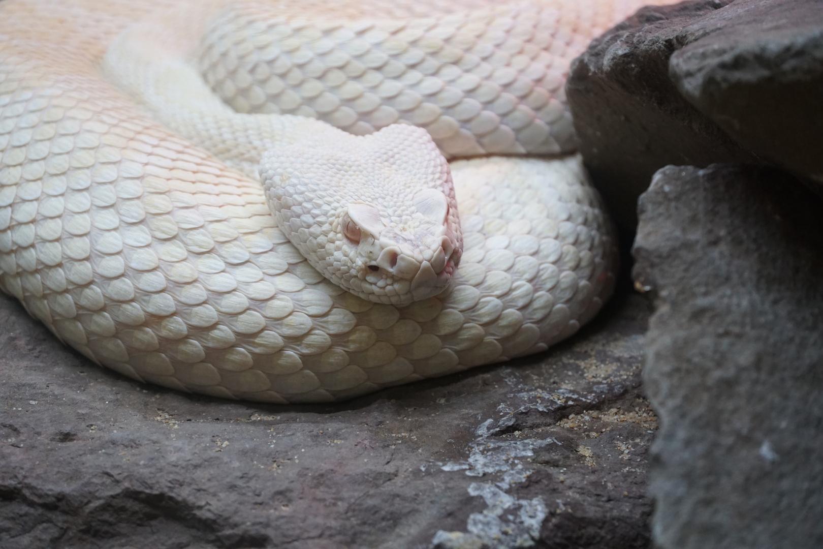 albinoide Grubenotter