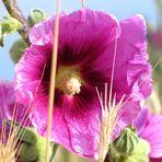 Alcea rosea, Gewöhnliche Stockrose