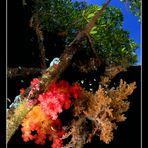 Alcionari su mangrovie