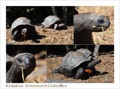 Aldabra Riesenschildkröten